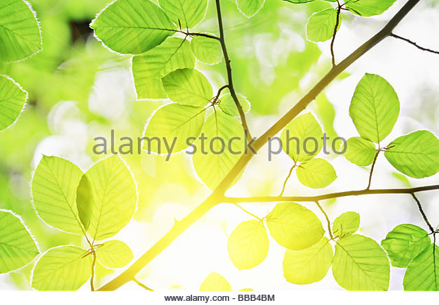 Beech Leaves Spring Stock Photos & Beech Leaves Spring Stock.