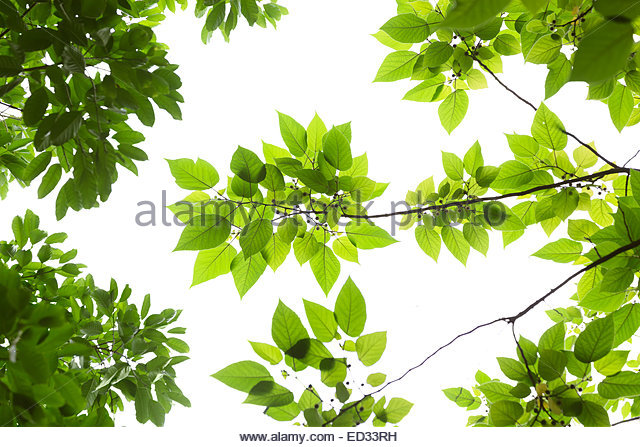 Cut Leaf Beech Stock Photos & Cut Leaf Beech Stock Images.
