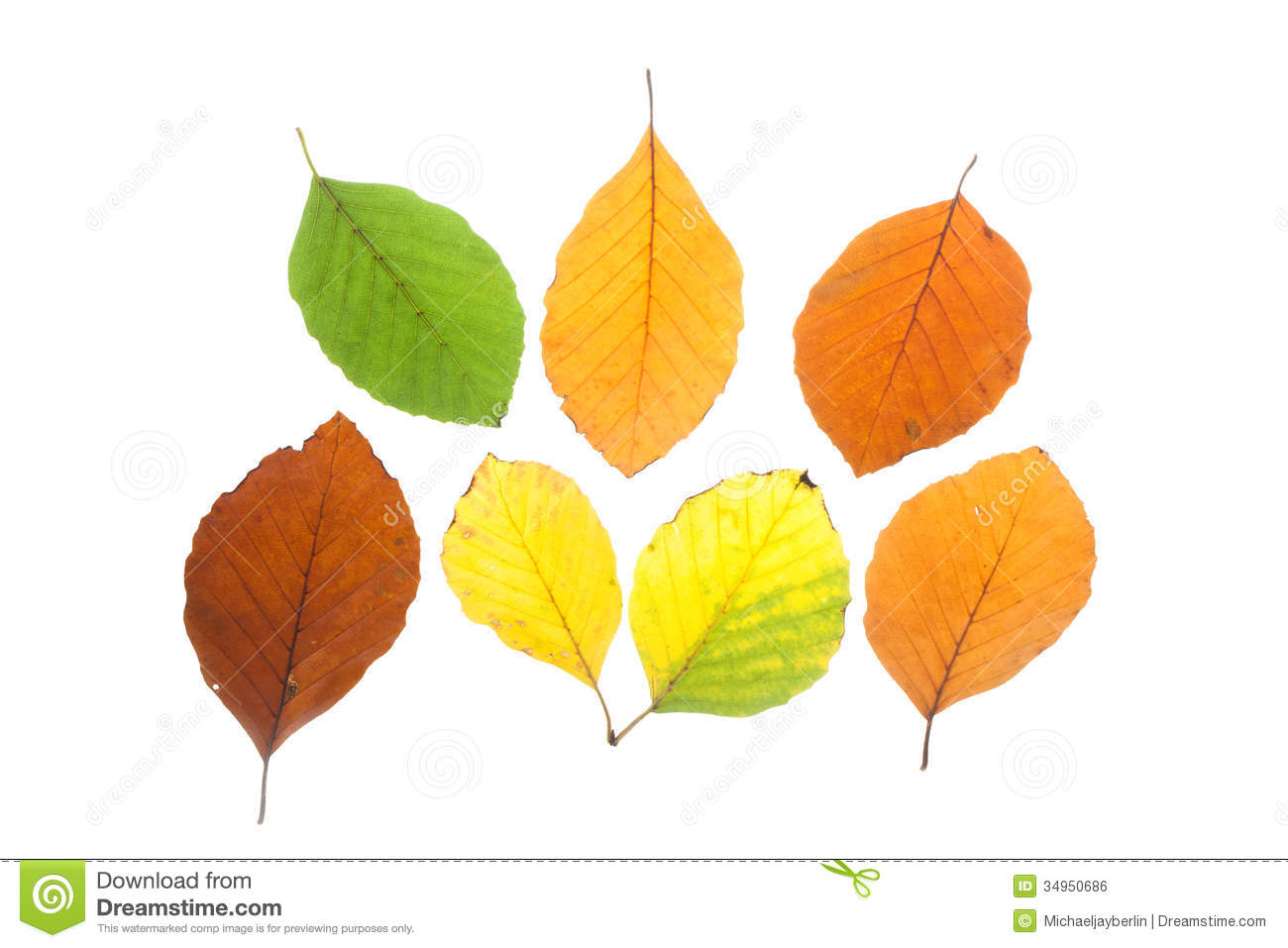 Set Of Beech Leaves In Different Fall Colors Royalty Free Stock.