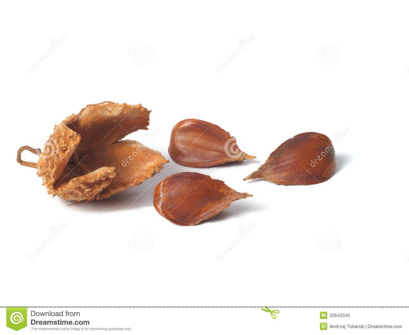 Common Beech Nuts Royalty Free Stock Photo.