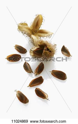 Stock Photograph of Beech nuts with and without shells 11024869.