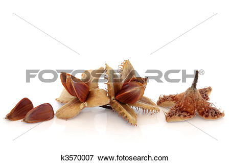 Picture of Beech Nuts k3570007.