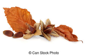 Beechnuts Stock Photos and Images. 113 Beechnuts pictures and.