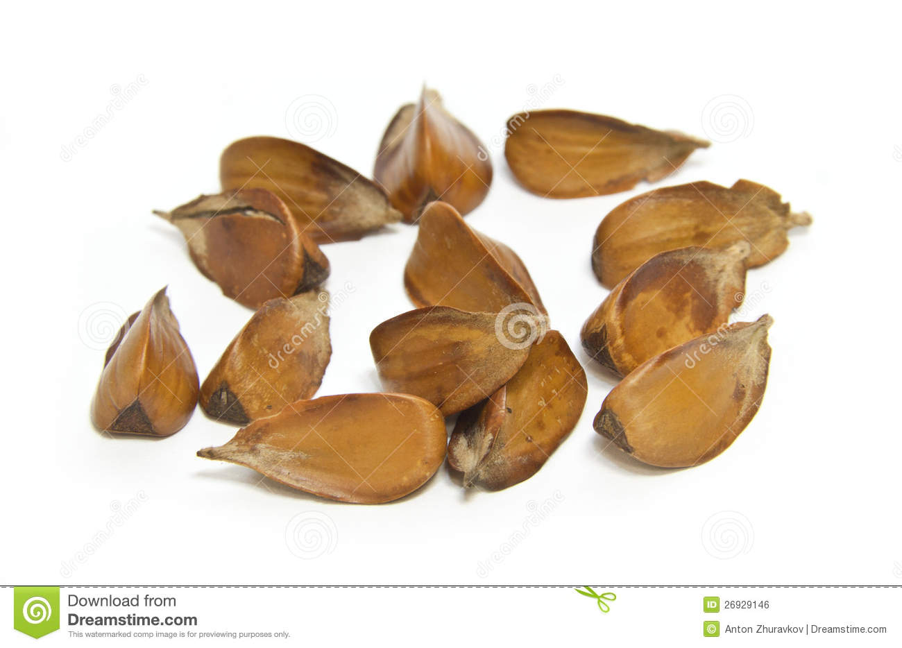 Beech Nuts Royalty Free Stock Image.