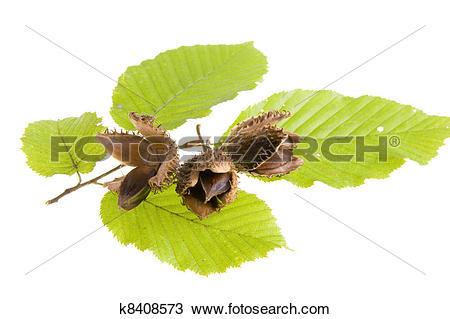 Stock Photo of Beech nuts and leaves on white background k8408573.