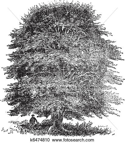 Clipart of Beech tree vintage engraving k6474810.