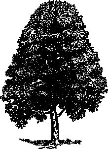 Beech Tree Clip Art at Clker.com.