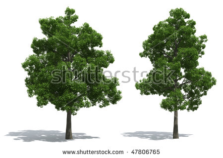 Beech tree clipart - Clipground