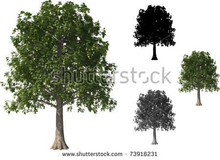 Beech Tree Stock Photos, Royalty.