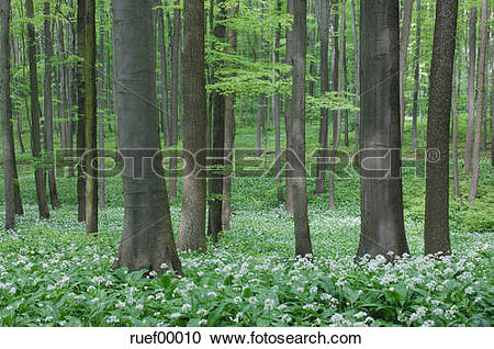 Stock Photography of Wild Garlic (Allium ursinum) in Beech Wood.
