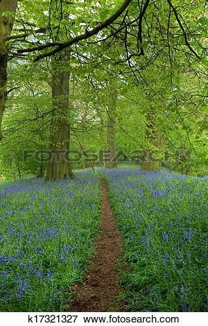 Picture of Beech wood with bluebells k17321327.