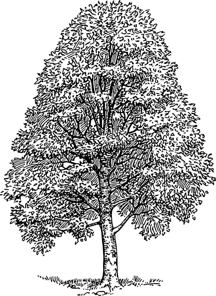 Beech Tree clip art Free vector in Open office drawing svg ( .svg.