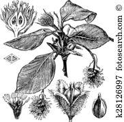 Beechnut Clipart Illustrations. 2 beechnut clip art vector EPS.