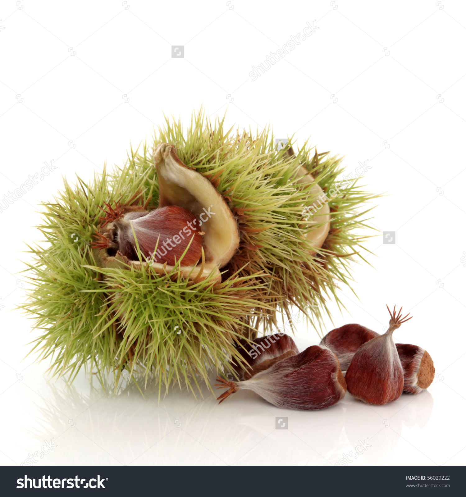 Beech Nut Husk Nuts Scattered Isolated Stock Photo 56029222.