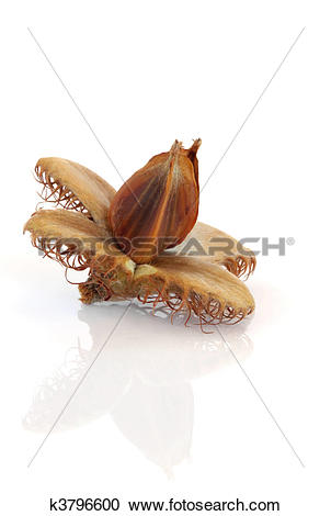 Stock Photography of Beech Nut k3796600.