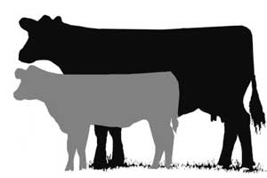Beef Cattle Clipart.