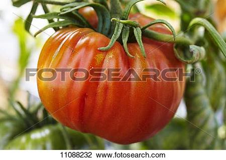 Stock Photo of Beefsteak tomato on the plant 11088232.