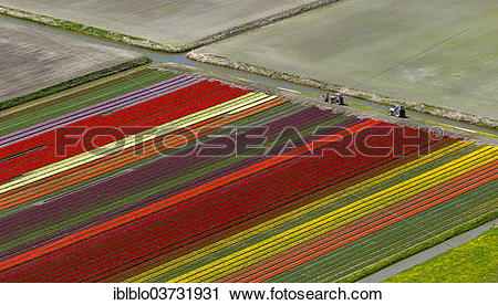 """Stock Photography of """"Tulip fields, aerial view, Noord."""
