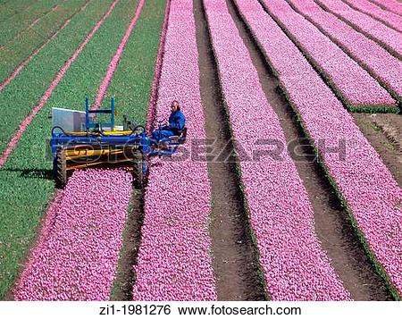 Stock Images of farmer at work at his tulip field in the polder.