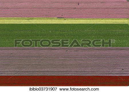 "Picture of ""Tulip fields, aerial view, Zuidoost."