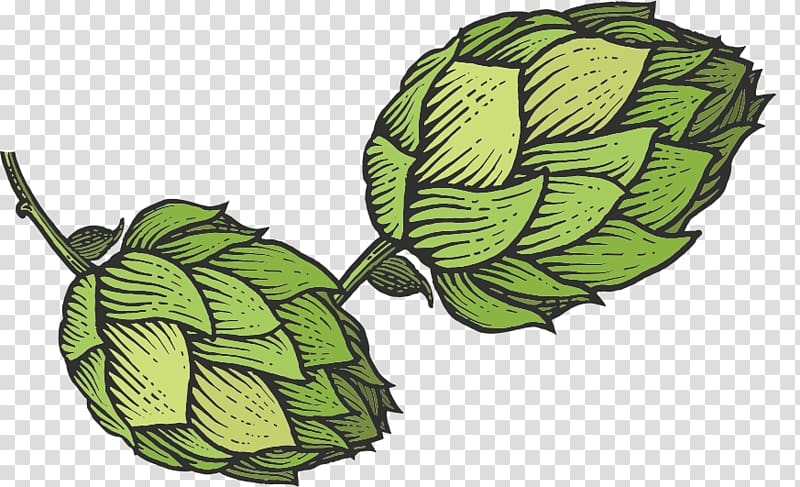 Beer Hops Common hop Sketch, beer transparent background PNG.