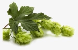 Beer Hops PNG & Download Transparent Beer Hops PNG Images for Free.