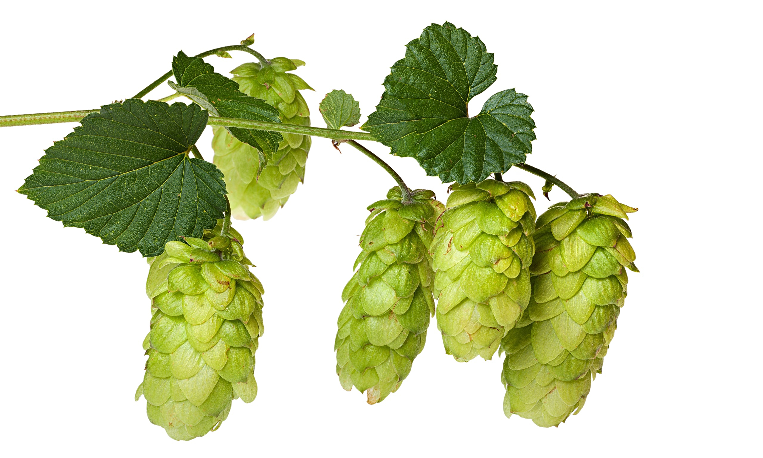 Hops and Craft Beer: Are We in a Bubble?.