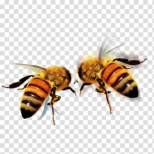 Two honey bees, Apidae Queen bee Icon, HD bee transparent background.