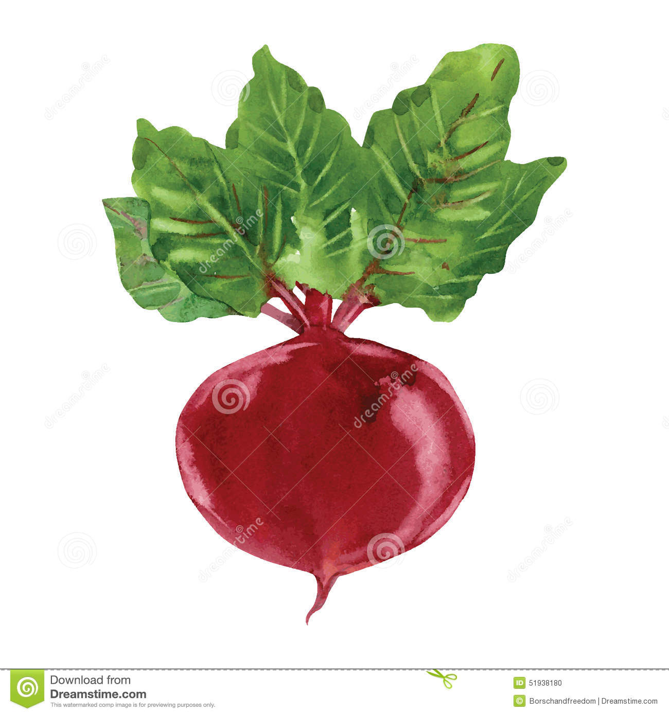 Beetroot Stock Illustrations.