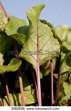 Pictures of Beet Leaves In Organic Garden, Manitoba, Canada.