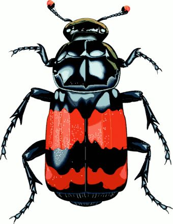 http://www.cksinfo.com/clipart/animals/insects/beetles/big.