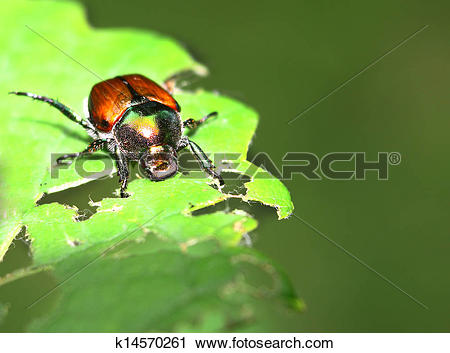 Stock Photography of A Japanese Beetle perched on a plant leaf.