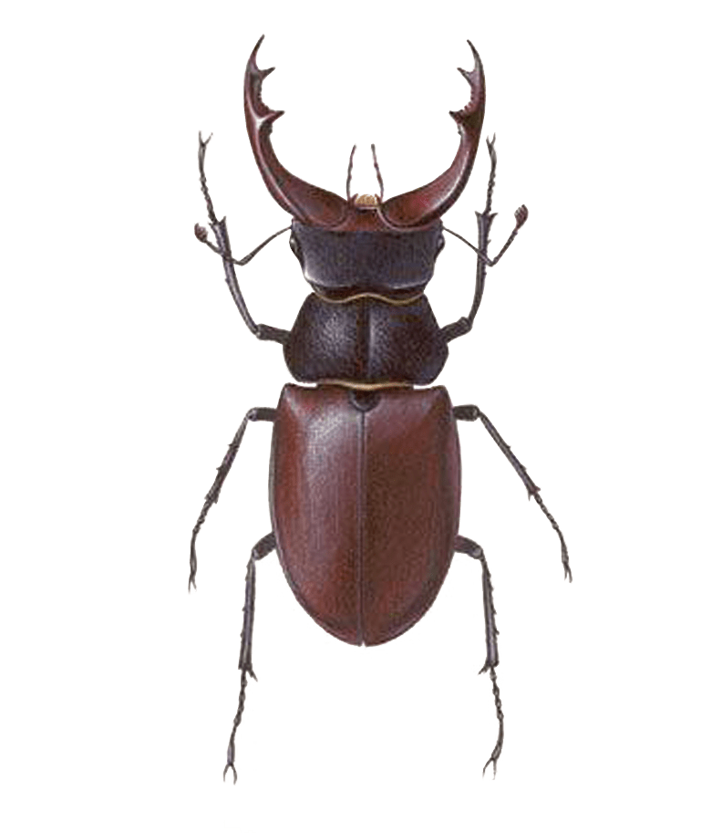 Stag Beetle no background insect/Bug image.