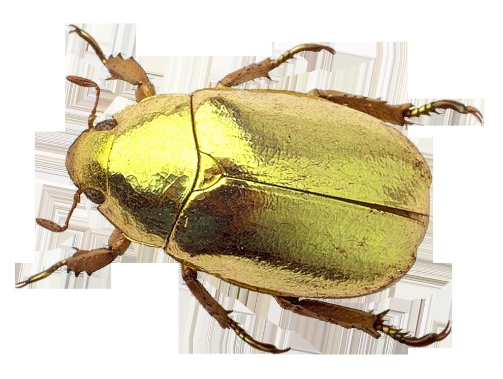 Beetle PNG Transparent Image.