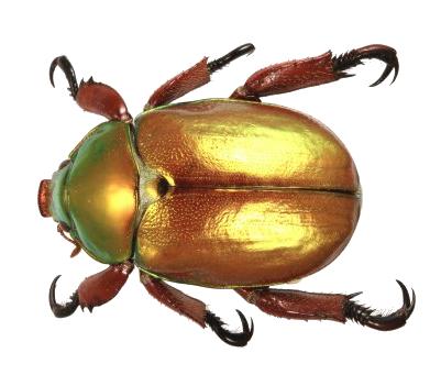 Beetle PNG Transparent Images.