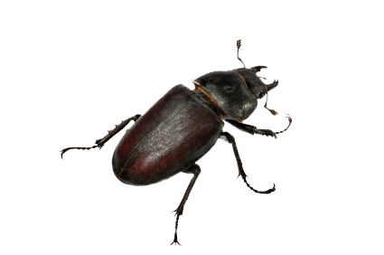 Download Beetle PNG Clipart.