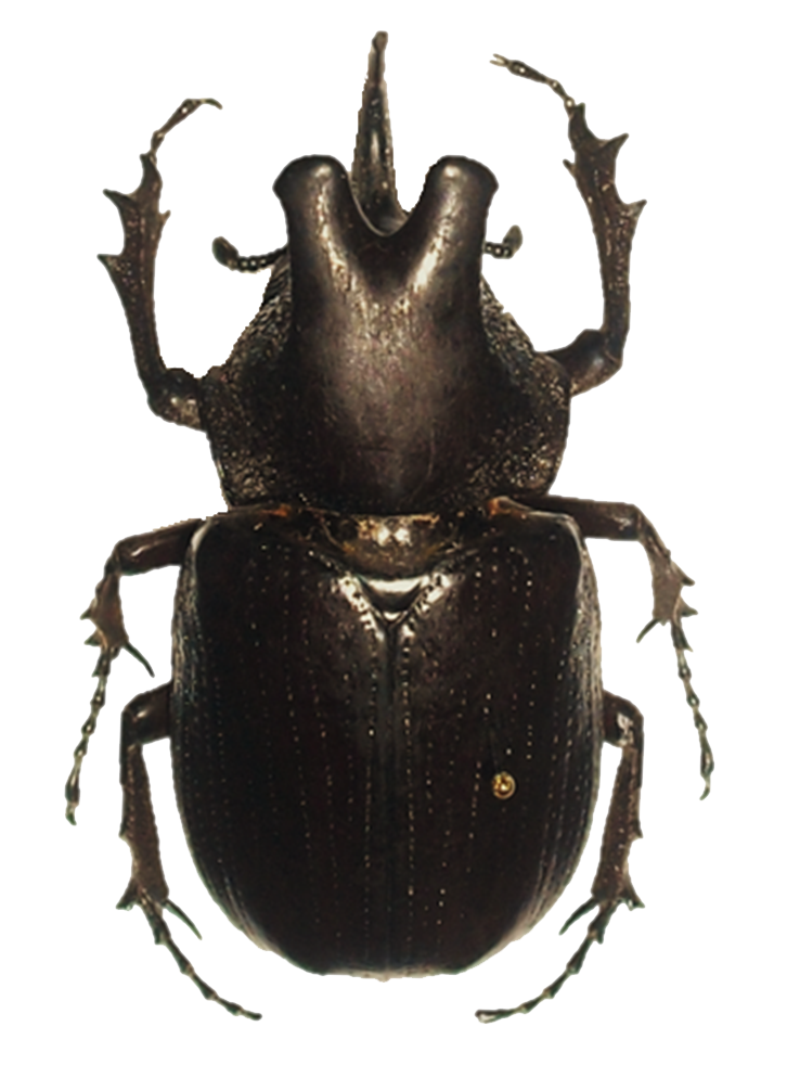 Download Beetle Png Hd HQ PNG Image.