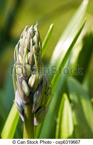 Picture of Bluebell Bud.
