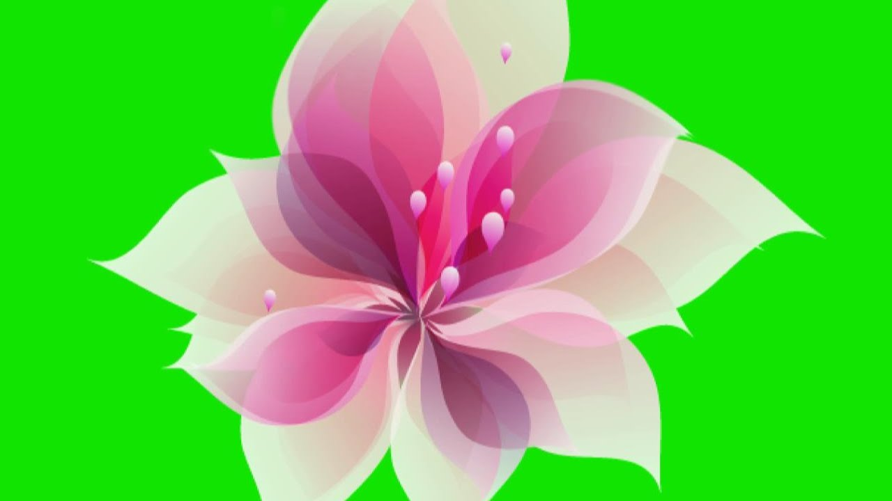 Animated Flower Blooming Green Screen.