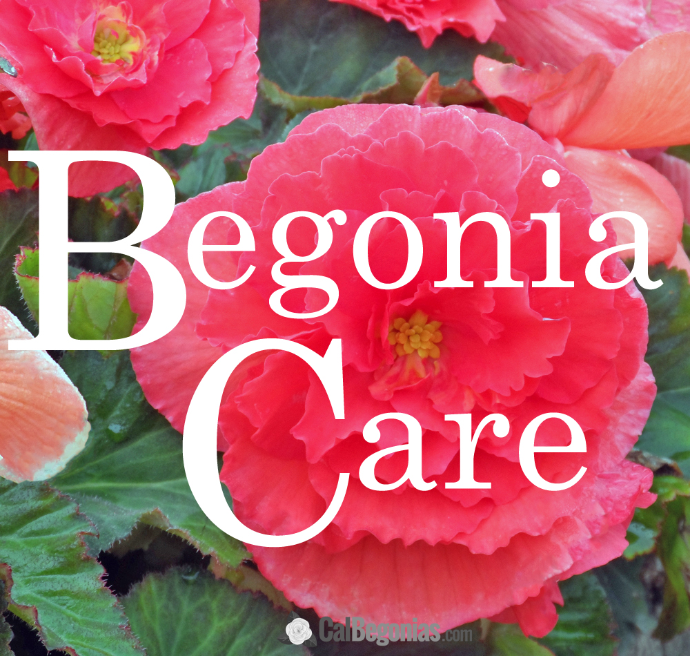 Begonia Care: Customer Questions.