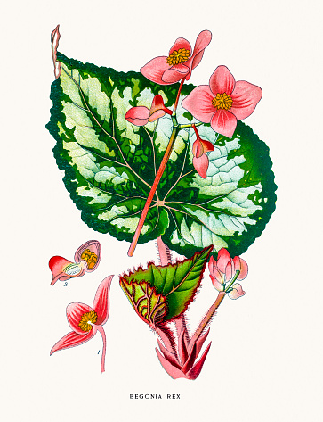 Begonia Clip Art, Vector Images & Illustrations.