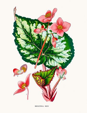 Begonia Clip Art, Vector Images & Illustrations.