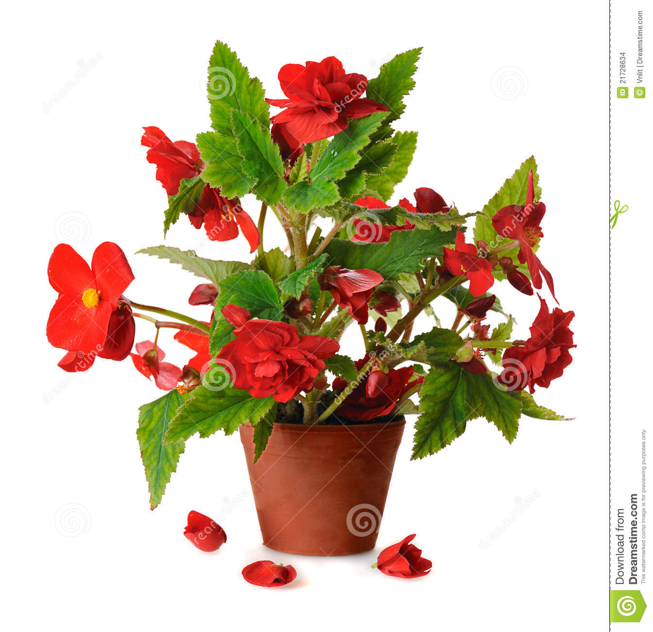 Begonia Pot Stock Image.