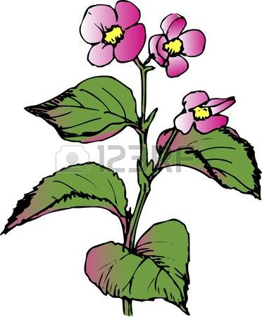 361 Begonia Stock Vector Illustration And Royalty Free Begonia Clipart.