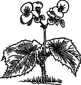Begonia clip art Free Vector / 4Vector.