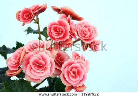 Begonia Flowers Stock Photos, Royalty.