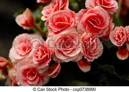 Stock Photography of Red elatior begonia.