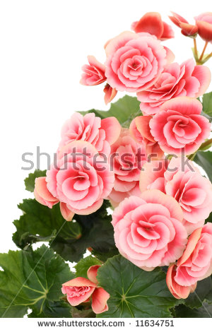 Begonia Isolated Stock Photos, Royalty.