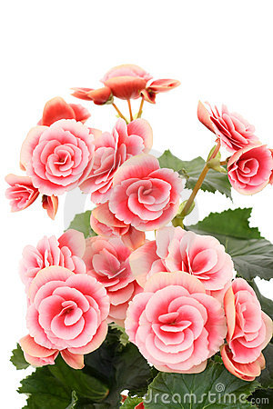 Begonia Elatior Stock Photo.
