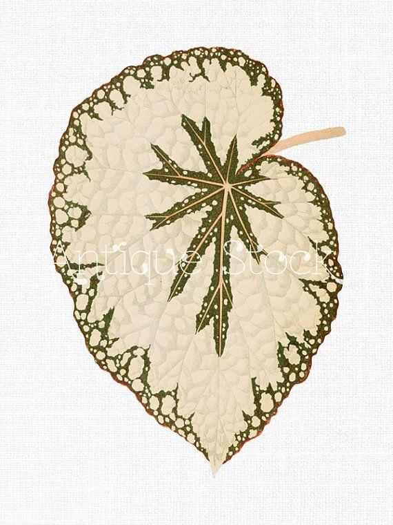 Clip art 'Begonia leaf' Digital Collage Sheet Download PNG.